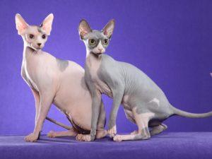 Sfinks kassidFoto: Funny Cat Wallpapers