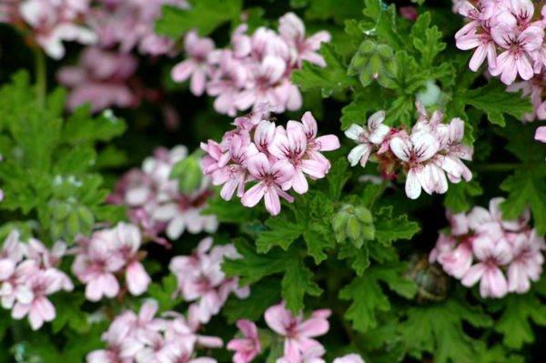 Pelargonum CItronella Foto: Sunland Herbs