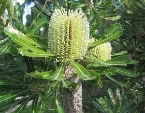 Banksia serrata Foto: Gnangarra